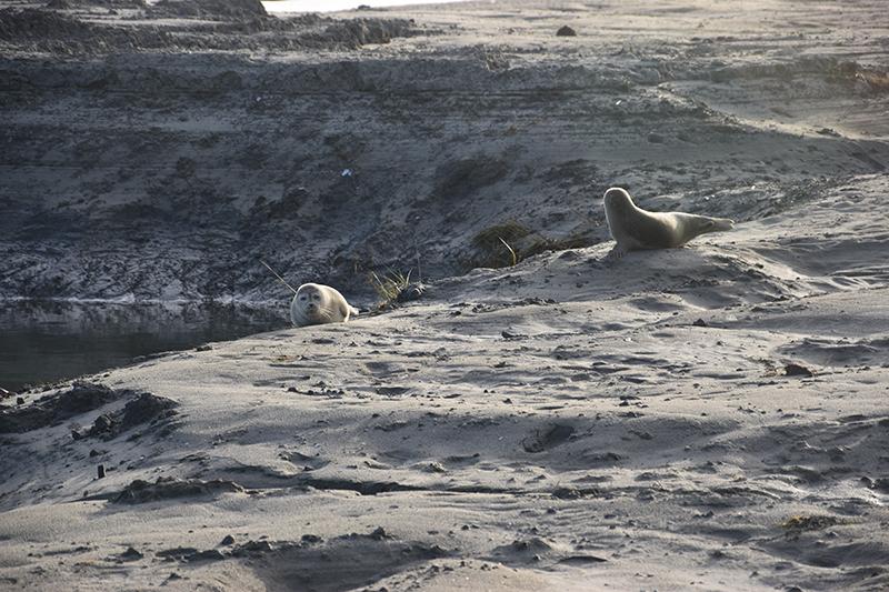 To unge sæler blev de første fastliggere i Sønderho Havn.