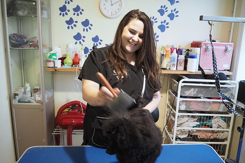 Dværgpudlen Rosie på fem måneder bliver børstet i hundesalonen.