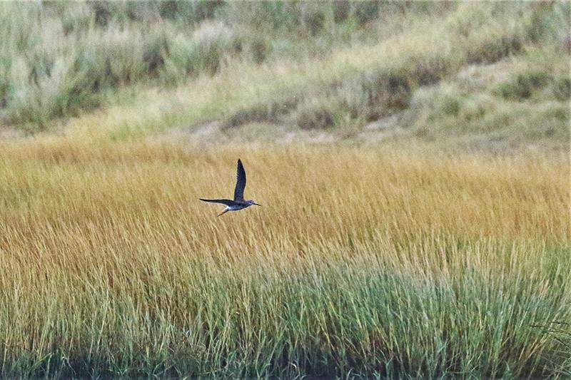 For første gang i Danmark: Stor gulben eller Tringa melanoleuca er en mågevadefugl, der lever i Canada og Alaska. Den blev spottet i Sønderho først. Foto: Søren Brinch.